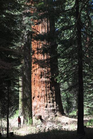 03sequoia